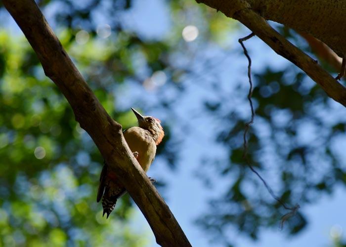 Vogel Panama